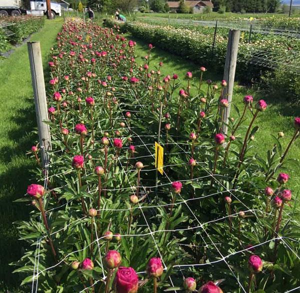 Flower Support Netting